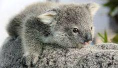 Resultat d'imatges de koalas