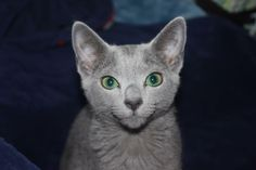 Russian Blue Kitten, Blues, Cats, Animals, Friends, Amigos, Gatos, Animales, Animaux
