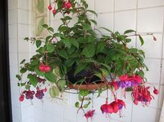 Brinco-de-Princesa:  Por ser uma flor que cresce de forma pendente, é ideal para o cultivo em vasos suspenso