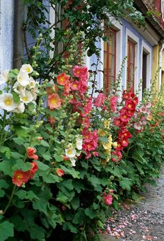 Hollyhocks Roses Trémières, Growing Flowers, Planting Flowers, Love Flowers, Bloom Where Youre Planted, Garden Paths, Garden Beds, English Country Gardens, Hollyhock
