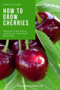 How to Grow Cherries (How To Guide) #gardengearshop #garden #gardening #guide #howto #diy #growing #seeds #plants #cherry #cherries