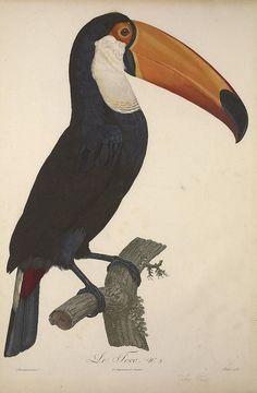 More Toucans on the site. Art And Illustration, Vintage Bird Illustration, Botanical Illustration, Bird Drawings, Animal Drawings, Scientific Drawing, Vintage Birds, Exotic Birds, Bird Prints