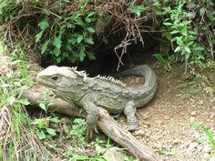 Reptiles, Lizards, Lizard Dragon, Living Fossil, Maori Designs, Kiwiana, Ciri, Flora And Fauna, Metal Art