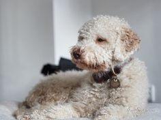 Anett Seidensticker - Photographie - Podgi & Beppa Lagotto Romagnolo, Teddy Bear, Dogs, Animals, Amor, Pets, Photography, Dog Training School, Photo Shoot