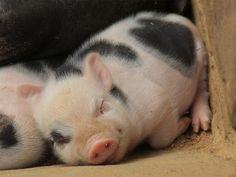 Cute Piggie having a happy dream