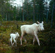 Unusual white Moose cow gave birth to a little calf last week in Dalarna, Sweden.