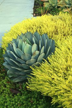 Agave parryi, Coleonema pulchrum 'Sunset Gold' and Myoporum parvifolium | Flickr - Photo Sharing!