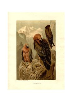 Antique Color Print - Lammergeyer or Bearded Vultures- Vintage Color Ornithology Print - Chromolitho