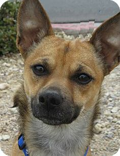 Las Vegas, NV - Chihuahua Mix. Meet Gizmo, a dog for adoption. http://www.adoptapet.com/pet/10859376-las-vegas-nevada-chihuahua-mix