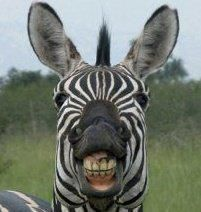 Zebras with hairdos and straight teeth