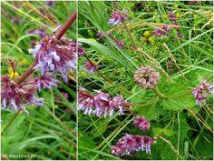 floare mov Centaur, Clematis, Indigo, Plants, Flora, Indigo Dye, Plant, Planting