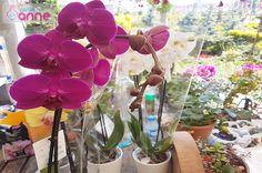 Orkide Bakımı, Çoğaltımı, Saksı Değişimi, Kurtarma, Çiçek Açtırması Nasıl Yapılır ? Canım Anne. com dan herkese merhabalar, Bu videomuz da orkide bakımınadair her şeyi en ince ayrıntısında kadar sizlerle anlatmaya çalıştık, umarız beğenirsiniz.Orkide ile ilgili aşağıdaki konuların tümünü bu videoda paylaştık. Orkide Nasıl Bir Çiçektir? Orkide Alırken Nelere Dikkat Edilmelidir? Orkide Bakımı Nasıl Yapılır? Orkide …