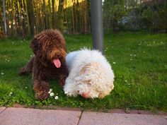 Mighty Monegat's Briony Butterfly und Emilio #lagotto romagnolo