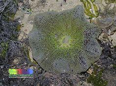 Haddon's carpet anemone (Stichodactyla haddoni)