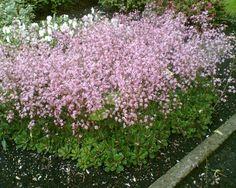Saxifraga urbium – wordt naast steenbreek ook schildersverdriet genoemd. Steenbreek is een rotsplant en een goedebodembedekkerdat naast een frisgroen tapijt dat ookin de winter groen blijft, ieder jaar weer een overvloed aan bloemen vormt. De bloeitijd is in mei-juni met teer uitziende wit met roze gekleurde bloemetjes welke op30 cm opstaande stengels staan. Het plantje zelf is maar 5-15cm hoog en heeft ovale leerachtige wintergroene bladeren welke gekarteld zijn. Groeit het beste op…