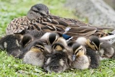 """""""Mallard family"""" by Tord Andreasson"""