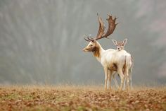 Happy Valentine's Day!      Deer in Love (Fallow Love) - Kent, England – Mark Bridger  Happy Valentine's Day everyone! In how many countries is Valentine's Day celebrated? Here is a thought. Please represent your country below and let us know if you cele