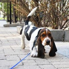 Look at those ears!!! Basset hounds rock. Love the hound