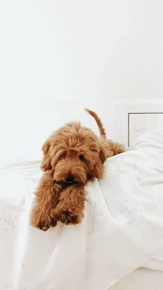 Goldendoodles are like real live teddy bears with their adorable faces and sweet temperments. Everything you need to know anout the miniature goldendoodle breed! #goldendoodle #puppytraining #puppy