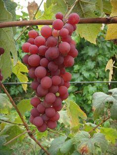Vitis 'Vanessa', vinranka. Röd kärnlös medelstor druva. Härdigare än Suffolk Red. Odlas i växthus.