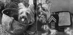 Tiny Dog War Hero. World War II had its fair share of heroes: Winston Churchill, Charles de Gaulle, Commander Eisenhower. But one you probably don't recognize is Smoky—a Yorkshire terrier. This is the story of one the smallest war hero of the century. Watch the video of the tiniest dog who becomes a war hero.