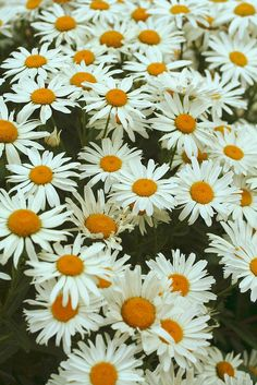 Shasta daisies...planted these, too.