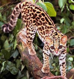 Margay (Leopardus wiedii) - native to Middle and South America, it spends almost its entire life in trees.