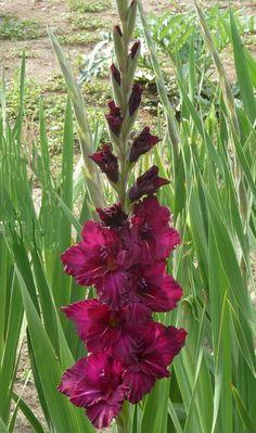 Gladiolus 'Henk' (Gladiolus x hortulanus)
