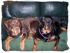 Ive never seen a red Rottweiler! This just adds to my obsession w/ them!