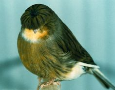 The Gloster Canary Funny Animals, Cute Animals, Canary Birds, Bird Aviary, Cute Little Things, Wow Products, Four Legged, Pretty Cool, Spirit Animal