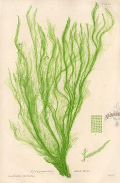Botanical Sketchbook - Seaweed Prints Nature Printing and Microscopic detail drawing Art Electrotype Printmaking Sealife