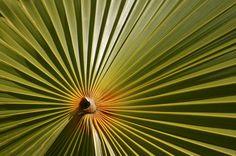 Palm, Pamplemousses Garden, Mauritius