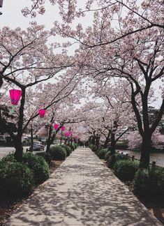 Which team would you choose: Sakura cherry flowers or Momiji red leaves ? Different Seasons, Different Plants, Japanese Literature, Japan Sakura, Sakura Bloom, Tokushima, Blossom Cookies, Hakone, Kamakura