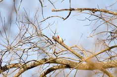 Woodpecker at Fort Worth Nature Preserve, Greer Island.