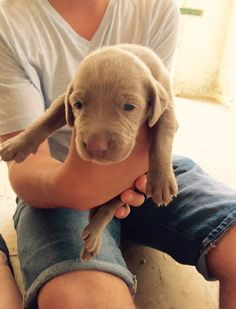 he was so tiny Weimaraner, Puppies, Dogs, Animals, Cubs, Animales, Animaux, Pet Dogs, Doggies