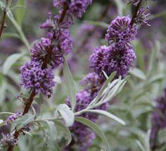 Buy Buddleja alternifolia Argentea plants - Kelways