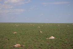 In May nearly half of all the saigas, a critically endangered antelope that roams the steppe of Kazakhstan, died off. Veterinarians brought in couln't determin an environmental cause Eurasian Steppe, Like Animals, See Images, Kazakhstan, Habitats, Creatures, 257, Veterinarians, Terra