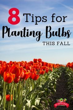 8 Tips for Planting Bulbs this fall Planting bulbs in the fall is a great way to prepare for a flower-packed spring! Use these 8 tips to make planting bulbs this fall a success! via The Kitchen Garten Gardening For Beginners, Gardening Tips, Plant Zones, Garden Bulbs, Spring Bulbs, Planting Bulbs In Spring, Spring Blooms, Annual Flowers, Fall Plants