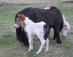 This is a true tri-colored foal. Tri Colored Icelandic -Confirmed Chimeric!