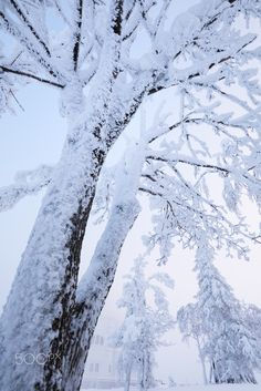 Winter Tree - Belogorsky Monastery, Perm region, Urals, Russia, -30C, January 2016