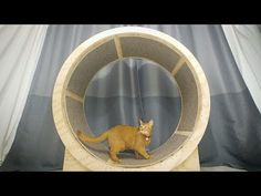 How to make a Cat Exercise Wheel In this video I show you how to make Cat Wheel from wood. This will help our cats maintain proper weight. Do your cat lacks exercise or eats too much? Cat Exercise Wheel, Diy Cat Tree, Cat Wall, Animal Projects, Cat Furniture, Cat Breeds, Cat Toys, Cool Cats, Cats And Kittens