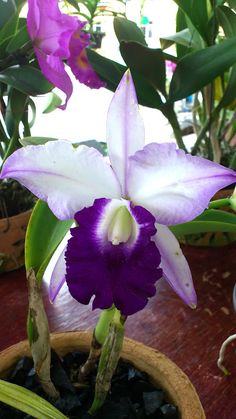 My husband has a greenhouse and grows orchids of various species. They are so generous with their flowering for 6 to 8 weeks. How beautiful is this Blue Hawaii Orchid. Unusual Flowers, Amazing Flowers, Purple Flowers, Beautiful Flowers, Blue Orchids, Yellow Roses, Pink Roses, Orchid Plants, Exotic Plants