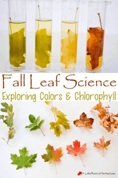 Laugh and Learn Linkup for Parents or Homeschool Easy Fall Leaf Science Experiment Exploring Colors and Chlorophyll Kid Science, Science And Nature, Science Tools, Physical Science, Summer Science, Science Education, Fall Preschool Science, Preschool Fall Theme, Science Projects For Kids