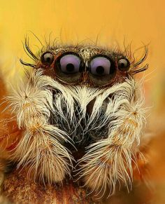 """""""Who are you callin' four-eyes?""""Jumping Spider (Mendoza Canestrinii) ~ By Juraj Komar Beautiful Creatures, Animals Beautiful, Animals And Pets, Cute Animals, Wolf Spider, Cool Bugs, Jumping Spider, Beautiful Bugs, Bugs And Insects"""