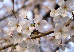 cherry blossoms    まさに桜花爛漫!!