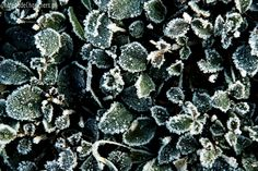 #winter #plantes #ice #green #nature #beauty #trees #leafs #inspiration #cold #icy #glace #givre #feuilles #inspirational #decoration #pictures #beautiful