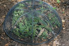 Here's a gardening trick that works…use a bread basket as a protective cloche   Gardening With Confidence with Helen Yoest
