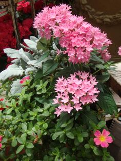 Egyptian Star Cluster 'Butterfly Pink' Pentas lanceolata.....Grow pentas anywhere as an annual; in growing in zones 9 and warmer the plants may be perennials.