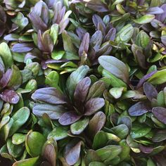 A dwarf, spreading groundcover that creates a tight mat of rich, chocolate brown foliage with dark green undertones. Charming spikes of lacy blue flowers rise a Shade Plants, All Plants, Garden Plants, Colorful Flowers, Blue Flowers, Fast Growing Flowers, Types Of Mulch, Plants For Sale Online