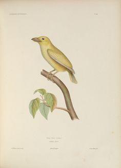 gravures ornithologie - Planches peintes oiseaux - 355 Bucco luteus - Barbu serin - Gravures, illustrations, dessins, images